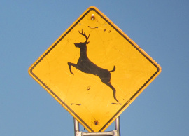 deer crossing270