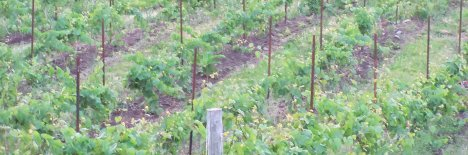 coffin_ridge_vineyard468