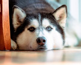 chien solitaire270